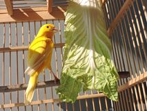 The Singer of Waterslager. Most people know this yellow bird as Waterslager Canary or Malinois Canary others called as Waterslager Water Singer. This bird is the Stock Images