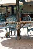 Singes à une table de restaurant à un terrain de camping en parc national de Pilanesberg Image libre de droits