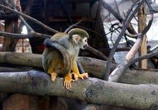 Singes-écureuils image libre de droits