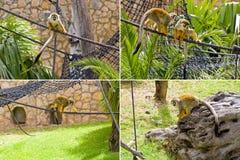 Singes-écureuils photo libre de droits