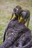 Singes-écureuils Photos libres de droits