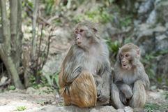 Singes Images libres de droits