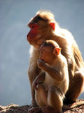 Singes Photos stock