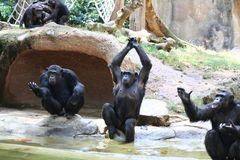 Singes Photographie stock libre de droits
