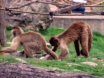 singes Photos libres de droits