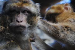 singes Images stock