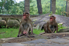 singes Photographie stock libre de droits