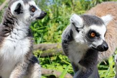 singes Anneau-coupés la queue de lémur Images libres de droits