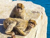 Singes au Gibraltar, singes de Barbarie photos libres de droits