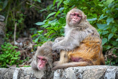 Singes au Népal Photo stock