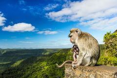 Singes au point de vue de gorges mauritius photo stock