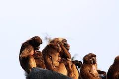 Singes, babouins beaucoup de FOND d'animal de familles Images libres de droits