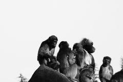 Singes, babouins beaucoup de FOND d'animal de familles Image stock