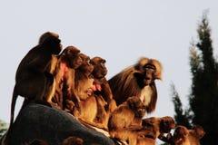 Singes, babouins beaucoup de FOND d'animal de familles Photographie stock