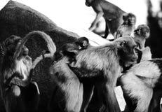 Singes, babouins beaucoup de FOND d'animal de familles Photos libres de droits