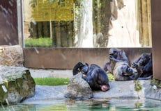 Singes détendant dans un zoo photographie stock libre de droits