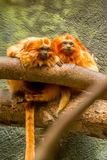 Singes d'or de tamarin de lion Photographie stock libre de droits