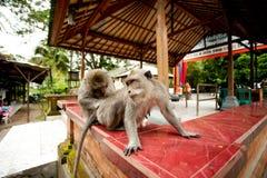 Singes dans la forêt sacrée de singe Photographie stock