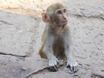 Singes dans le temple de Chandi Photos libres de droits