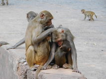 Singes dans le temple de Chandi Photo stock