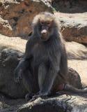Singes dans le zoo de Melbourne image stock