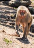 Singes dans le zoo de Melbourne Photographie stock libre de droits