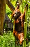 Singes dans le zoo de Melbourne photos stock