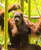 Singes dans le zoo de Melbourne Images stock