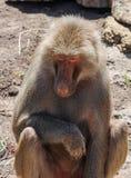 Singes dans le zoo de Melbourne Photo libre de droits