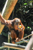 Singes dans le zoo de Melbourne Photographie stock