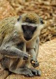 Singes dans le zoo de Melbourne Photos libres de droits