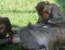 Singes dans le zoo faisant leur hygiène personnelle images stock