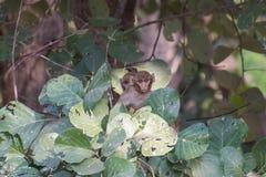 Singes de bébé sur l'arbre de monosperma de Butea photos libres de droits