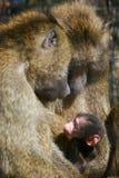 Singes de babouin avec la chéri Photographie stock