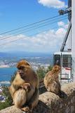 Singes de Barbarie, Gibraltar Image stock