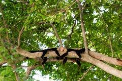 Singes de capucin tenant des mains Image libre de droits