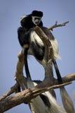 singes de colobus photographie stock