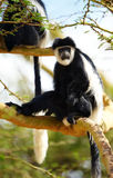 Singes de colobus noirs et blancs Photos stock