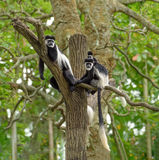 Singes de colobus noirs et blancs Photographie stock