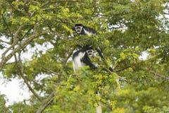 Singes de Colobus noirs et blancs dans un arbre Image libre de droits