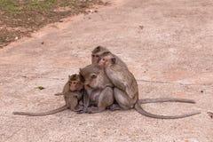 Singes de famille et x28 ; Crabe-consommation du macaque et du x29 ; froid dans le matin Photographie stock