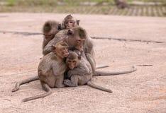 Singes de famille et x28 ; Crabe-consommation du macaque et du x29 ; froid dans le matin Photo libre de droits