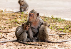 Singes de famille et x28 ; Crabe-consommation du macaque et du x29 ; froid dans le matin Images stock