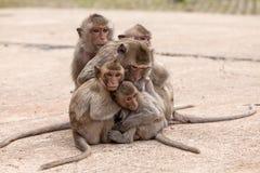 Singes de famille et x28 ; Crabe-consommation du macaque et du x29 ; froid dans le matin Photos stock