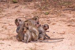 Singes de famille et x28 ; Crabe-consommation du macaque et du x29 ; froid dans le matin p Photographie stock libre de droits