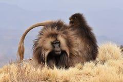 Singes de Gelada se toilettant en montagnes de Simien photo stock