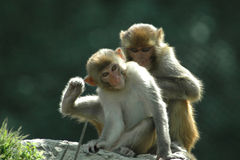 singes de Katmandou Photographie stock libre de droits