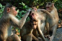 Singes de Macaque de toilettage Photographie stock libre de droits