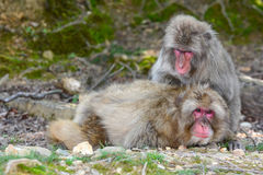 Singes de macaque japonais occupés à se toiletter social Photographie stock