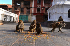 Singes de Macaque mangeant du maïs Photos stock